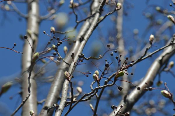 Spring Mountain Ash