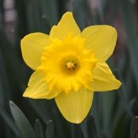 Super Daffodil