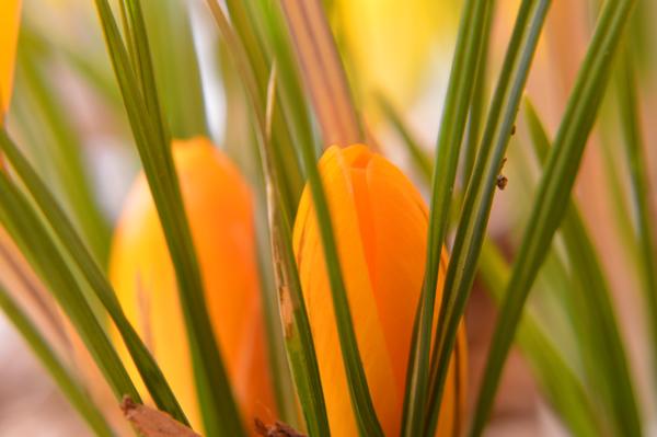 Two Orange Buds