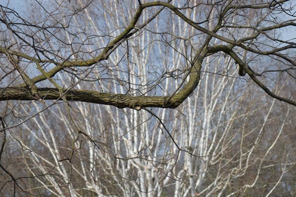 Walnut and Birch