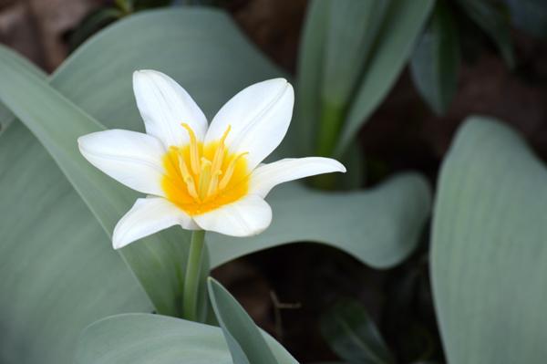 White and Yellow Tulip