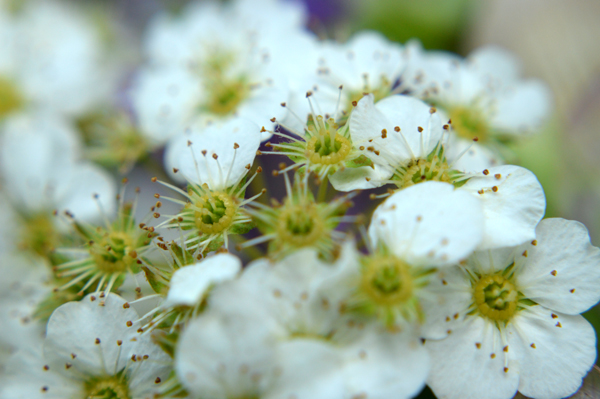 Bridalwreath Macro