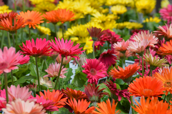 Gerbera For Sale