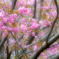 Soft Pink Trees II