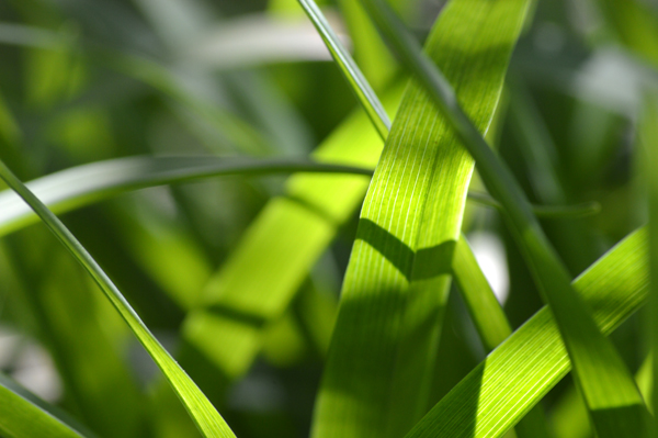 Spring Green Blades