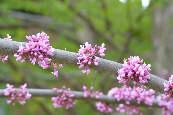 Spring Redbud II