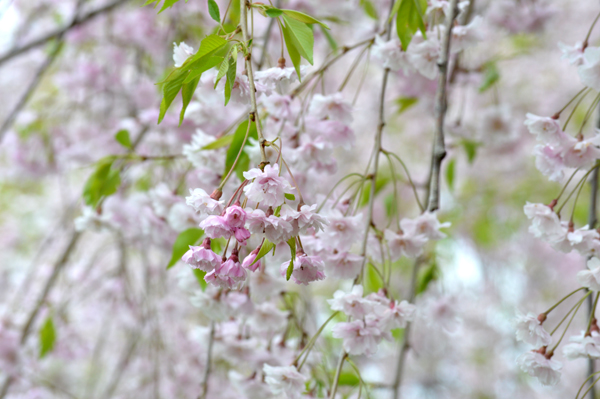 Weeping Cherry Veil