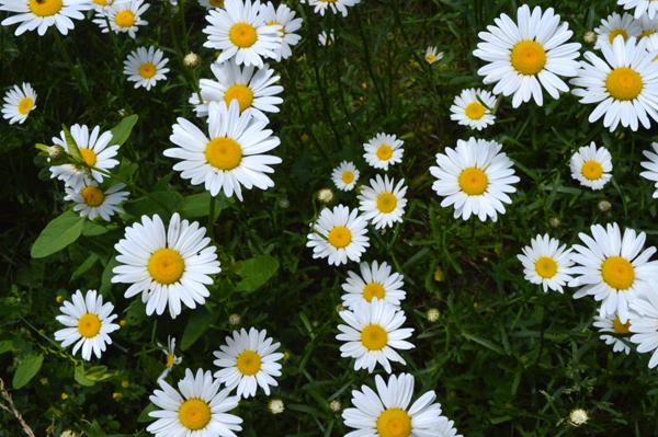 Daisy Days II