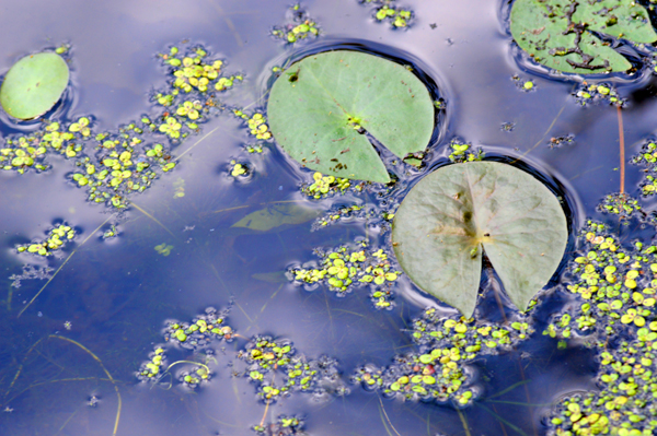Lily Pads and Blue Sky