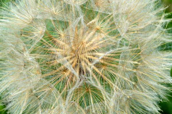 Seed Head Geometry