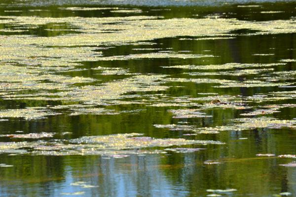 Shimmer on the Pond