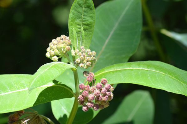 Milkweed Buds