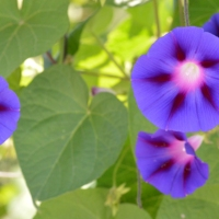 Beautiful Morning Glory
