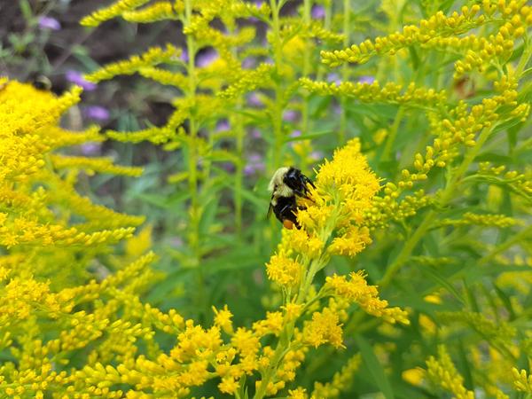 Bee & Goldenrod