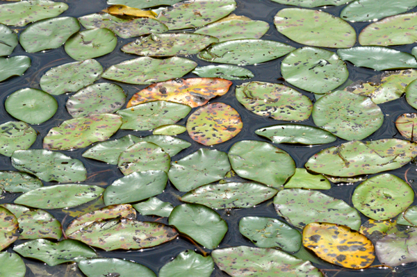Carpet of Lily Pads