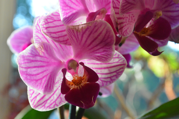 Intense Orchid