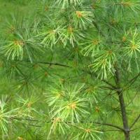 Popping White Pine