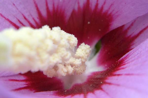 Rose of Sharon Macro