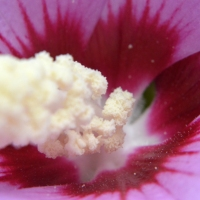 Rose of Sharon Macro