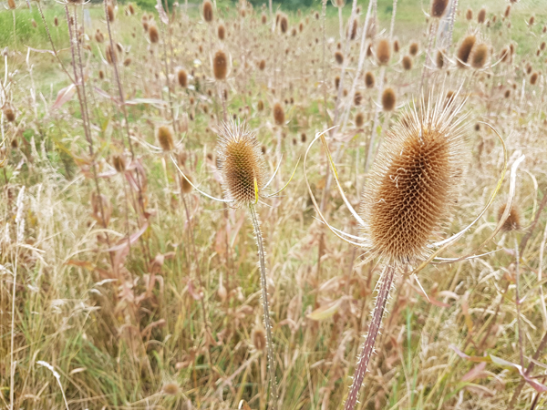 Warm Brown Teasels