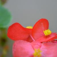Begonia Blush