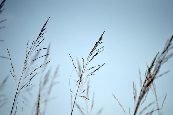 Blue Sky Grasses
