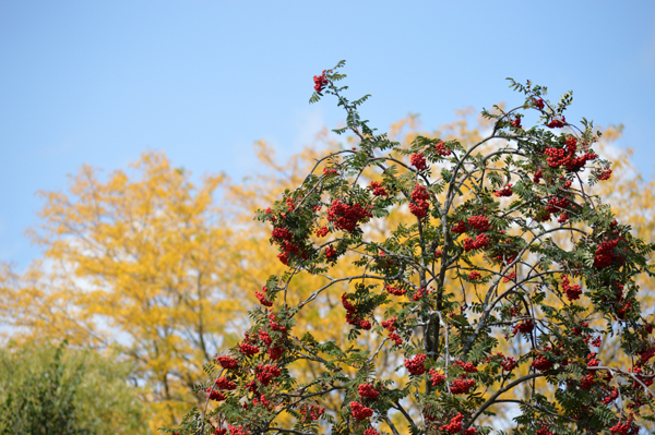 Mountain Ash on Yellow