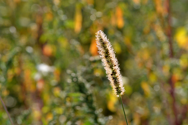Sparkling Foxtail