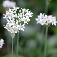 White Chive Flowers