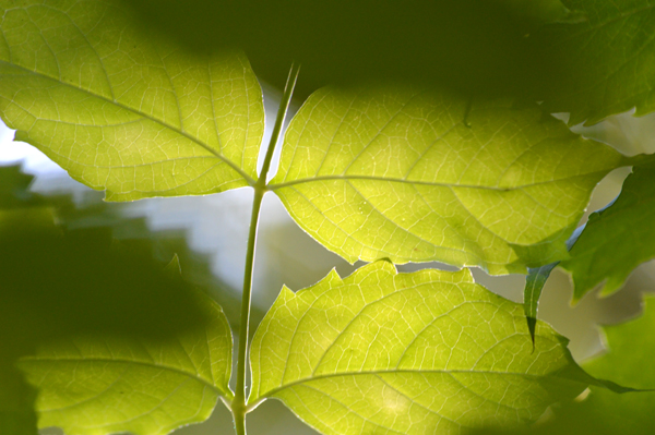 Backlit Vine