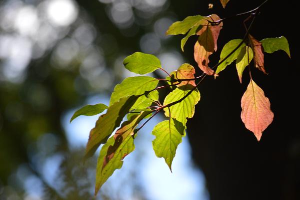 Light Through Dogwood