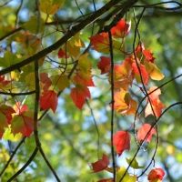 Red Maple Branch