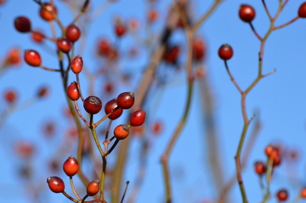 Rose Hips and Blue