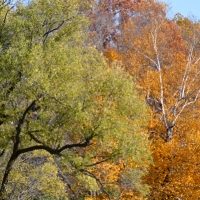 Willow and Birch