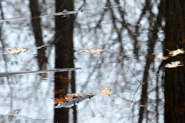 Floating Oak Leaves