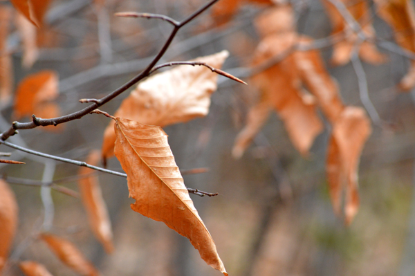 Winter Beech Leaves II