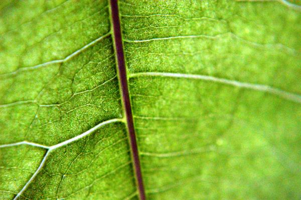 Money Tree Leaf
