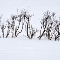 Winter Buttonbush