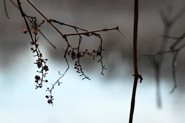 Winter Vine