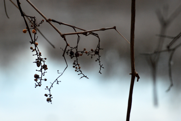 Winter Vine