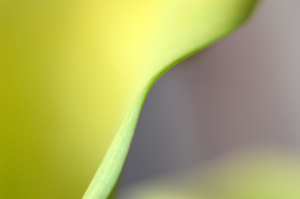 Calla Lily Abstract