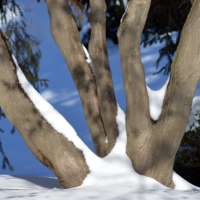 Five Snowy Trunks