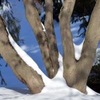 Five Snowy Trunks