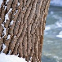 Snowy Creek Tree