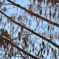 Winter Dawn Redwood