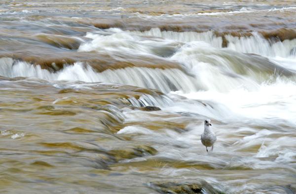 Maitland River Rush
