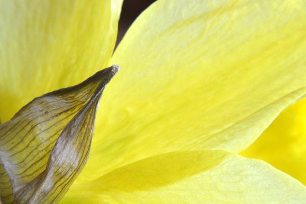 Behind a Daffodil II