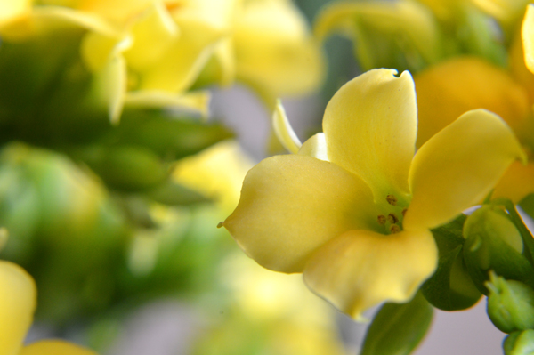 Golden Kalanchoe