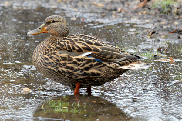 Ms Duckie