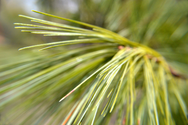 Pine Needle Abstract
